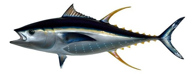 Yellow Fin Tuna Fish Taxidermy - paulbr75 / Pixabay