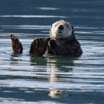 Sea Otter Swimming Floating Water  - skeeze / Pixabay