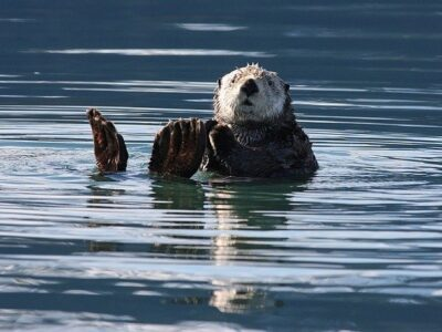 Sea Otter Swimming Floating Water  - skeeze / Pixabay