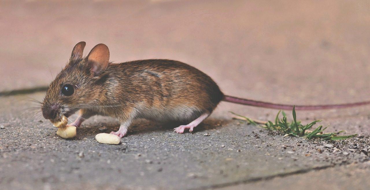 House Mouse Mouse Long Tailed Mouse - Capri23auto / Pixabay